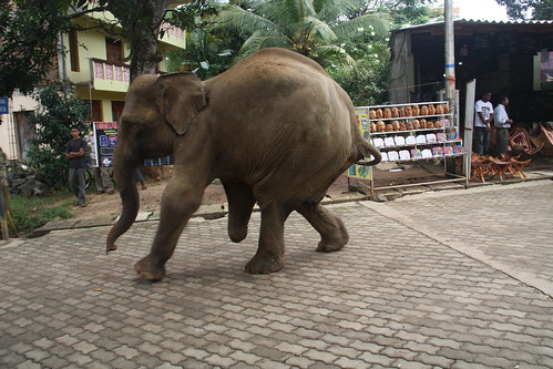 A three legged elephant that stood on a landmine, Pinnawela Elephant Orphanage, Sri Lanka