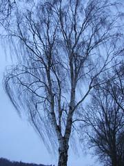 Birke im Winter 2010 (feuermelder2009) Tags: ammerland wildenloh