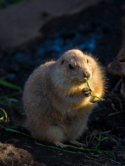 Prairie Dog With Dinner (aeschylus18917) Tags: nature japan zoo tokyo nikon wildlife   prairiedog rodentia 80400mm uenozoo nkon sciuridae 80400mmf4556dvr cynomys  marmotini d700 80400mmf4556vr onshiuenodbutsuen nikond700 sciuromorpha danielruyle aeschylus18917 danruyle druyle