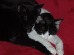 Lean on me... (Just Katety) Tags: friends red blackandwhite cats black cat blackcat kitty tuxedo kitties peanut tuxedocat sammi redchair my2girlcats