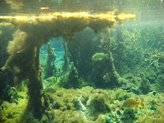 Magical underwater world at Silver Glen springs, Florida (ded_ch) Tags: fish water spring underwater forrest stripes sony surface fresh clear springs magical enchanted freshwater crystalclear algea s silverglen dsct100 greatvisibility