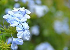 Life is the flower for which love is the honey ~ Victor Hugo (j_aubz) Tags: flowers blue floral flora bokeh manila bunch blooms tamron fortsantiago plumbago intramuros blueflower d3000 18250mm