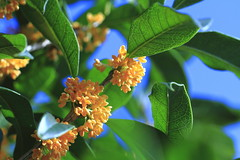 Fragrant olive ( Spice (^_^)) Tags: blue light shadow sky plants flower color macro green art nature leaves yellow japan canon geotagged photography eos interesting stem flora asia flickr colours image bokeh picture