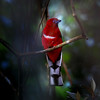 ขุนแผนหัวแดง Red-headed Trogon (somchai@2008) Tags: harpacteserythrocephalus redheadedtrogon vosplusbellesphotos ขุนแผนหัวแดง