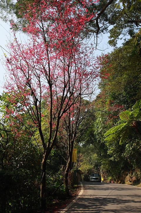樹林大同山青龍嶺的櫻花林0003