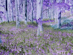 Bluebells (philwirks) Tags: public derbyshire inversion picnik myfavs flipped prismatic philrichards wirksworth cooliris pittywood yourbestphotography show08 flickrinfullcolor unlimitedphotos
