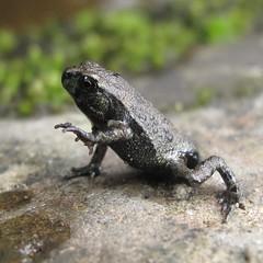 Tiny widemouth toad (Camerar) Tags: taiwan amphibian toad treefrog widemouth widemouthtoad