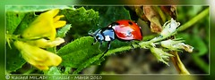 pour Nadine (Rached MILADI - ) Tags: macro nature colors beautiful animal plante butterfly insect rouge awesome vert panasonic papillon 1001nights tableau animaux mariposa better tunisie insecte insectes tableaux flore schmetterling coccinelle faune cration graphisme graphique      supershot macrolicious  rached animal bokehlicious abigfave    platinumphoto aplusphoto  theunforgettablepictures colourartaward miladi goldstaraward  natureselegantshots mimamorflowers rachedmiladi   vosplusbellesphotos colorsinourworld fz38 dmcfz38