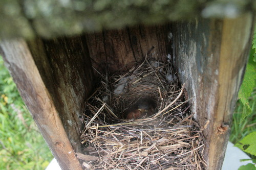 Eastern Bluebird nestlings