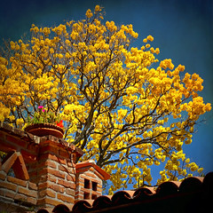 ~ Spring ~ (uteart) Tags: tree texture yellow mexico spring blooming springtree utahagen yellowblooms mywinners uteart primaveratree skeletalmess theauthorsplaza ☼gigilivornosfriends☼