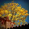 ~ Spring ~ (uteart) Tags: tree texture yellow mexico spring blooming springtree utahagen yellowblooms mywinners uteart primaveratree skeletalmess theauthorsplaza ☼gigilivornosfriends☼