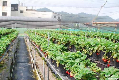 架高式的溫室草莓園