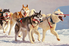 Running huskies (Tambako the Jaguar) Tags: dog snow dogs tongue race switzerland nikon canine huskies running sled wallis d300 oberwald