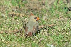 "Northern Cardinal (Bruce Bolin) Tags: ontario canada bird birds native bruce aves ornithology cardinaliscardinalis northerncardinal bolin ""© ©brucebolin"