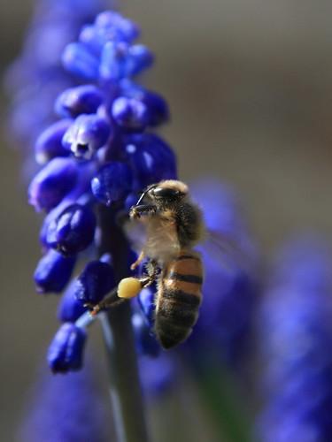 Honey bee with pollen baskets full
