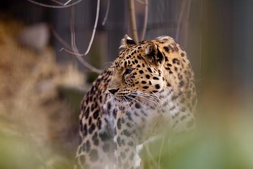 Panthera pardus orientalis