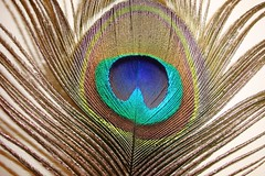 Mayilpeeli (peacock feather) (mseema) Tags: feather peacock mayil mayilpeeli theunforgettablepictures