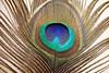 Mayilpeeli (peacock feather) (mseema) Tags: feather peacock mayil mayilpeeli theunforgettablepictures