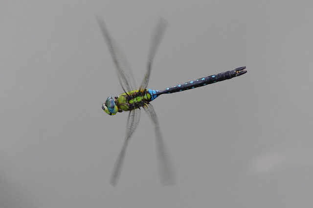 Anax nigrofasciatus
