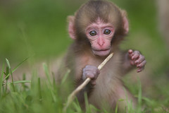 Toy  (June 21,2011 Explore ) (Masashi Mochida) Tags: snow monkey nagano jigokudani jpan supershot impressedbeauty friendoffriends natureselegantshots