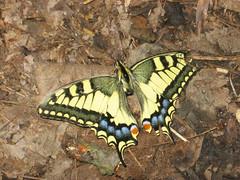 Sérült Fecskefarkú lepke (Papilio machaon) (jetiahegyen) Tags: rovar pilis túra túrázás kirándulás tour hiking outdoor okt országoskéktúra kéktúra lepke