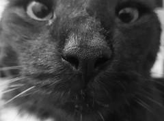 Mister Monk (anne.stergatos) Tags: katze katzen cat gata miau miezekatze macromonday hmm bw mieze nase zoom nahaufnahme nose schnuppern blackwhite schwarzweis cats moritz monk