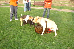 DSC08074 (Yogui G) Tags: beagle halloween luna tommy boxer labradorretriever nilo