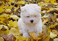 Charlie in the Leaves (NjCarGuy) Tags: dog cute puppy friend little charles canine best charlie doggy pup maltese maltesepuppy