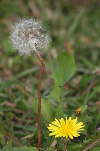 A dandelion,peacefully