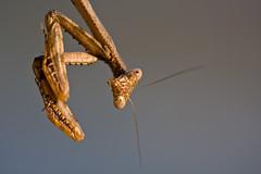 Oh, Hello. (Ian Lacy) Tags: portrait macro nature canon bug mantis insect dof bokeh praying pre handheld manualfocus antenna prayingmantis 100mmmacro mandibles 40d canon40d studio414