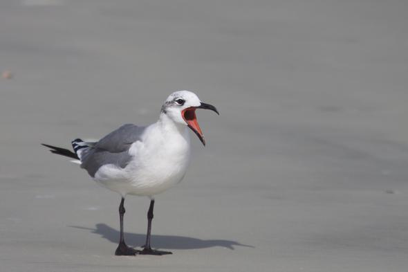 bird10_laughingGull