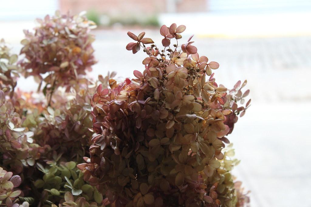dried lacecap hydrangea
