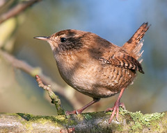 Wren in  Profile (Andrew Haynes Wildlife Images ( away for a while )) Tags: bird nature wildlife profile lichen wren coventry warwickshire avian brandonmarsh canon40d ajh2008