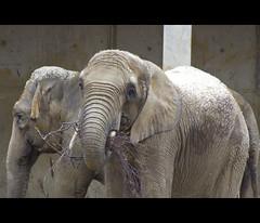 0985 (lil_junebug76) Tags: nature canon germany mammal bayern deutschland bavaria 350d rebelxt elefant augsburg schwaben swabia sugetier sylviabentele
