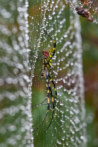 Spider and Droplets (by niklausberger)