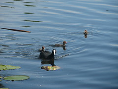 Coot with three chicks