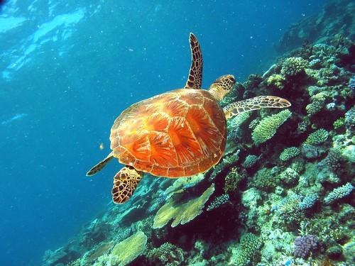 tartaruga barriera corallina