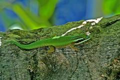Phelsuma inexpectata (ach_gecko) Tags: ocean reunion indian vert lizard gecko chameleon phelsuma lezart borbonica inexpectata