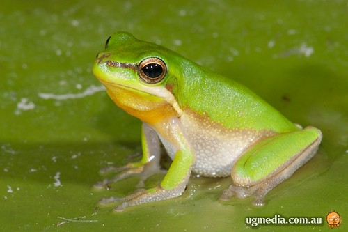 Eastern sedge frog (Litoria fallax)