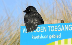 Guard (ZoomLoes) Tags: black bird dunes guard january 2010 jackdaw egmondaanzee northholland accessprohibited vulnerablearea ©loesvandezande