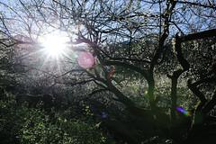 DSC_3735.jpg (lonnie127) Tags:  plumblossoms