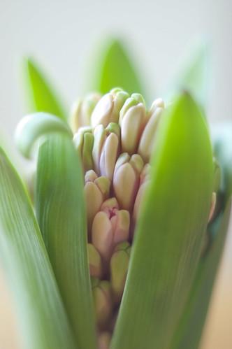 367:1000 Hyacinth