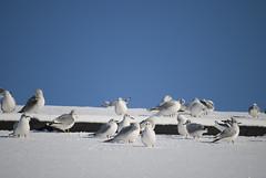 White gulls grouping together on a white covered roof (Otomodachi) Tags: city roof winter seagulls white snow cold holland dutch amsterdam birds animals season gulls sneeuw group nederland thenetherlands vogels wit dieren meeuwen stad noordholland dak koud groep capitolcity zeemeeuwen hoofdstad winterseizoen groeperen