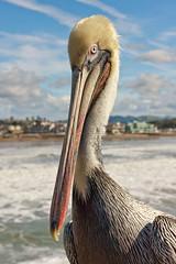 Brown Pelican (Candice, AKA Bessie Smith) Tags: ocean bird beach pier pacific pelican pismobeach brownpelican jesters pb0110
