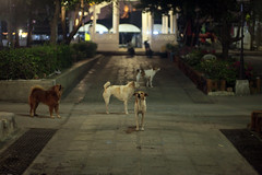 street dogs at temple pier (MirrorlessvsD-SLR2) Tags: dogs night canon bangkok siriraj ef85f18usm iso5000 eos5d2 acr54