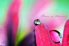 Tears in Heaven (Senzio Peci) Tags: red italy plant flower macro nature water rain heaven tears italia natura dewdrop daisy sicily transparent fiore acqua rosso rugiada pioggia sicilia margherita goccia paternò intothedeepofmysoul