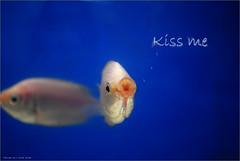 kiss me .. ( ) Tags: fish kiss whitefish kissme smallfish funnyfish cutefish