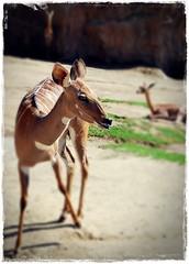 Gazelle (Srch) Tags: california animal zoo gazelle sandiegozoo gacela zoologico naturesfinest nikond60 natureselegantshots panoramafotogrfico