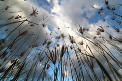 growing pain (Lohb) Tags: sky grass canon dof pov perspective bluesky tokina perak grond 500d ultrawideangle 1116 growingpain evo55 sauknewvillage