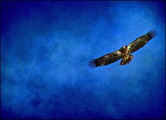 Hawk Textured (Sue90ca Going To Try To Catch Up...I Hope Soon) Tags: colour art painting colours eagle background fineart postprocess textured pp specialprocessing canons5is